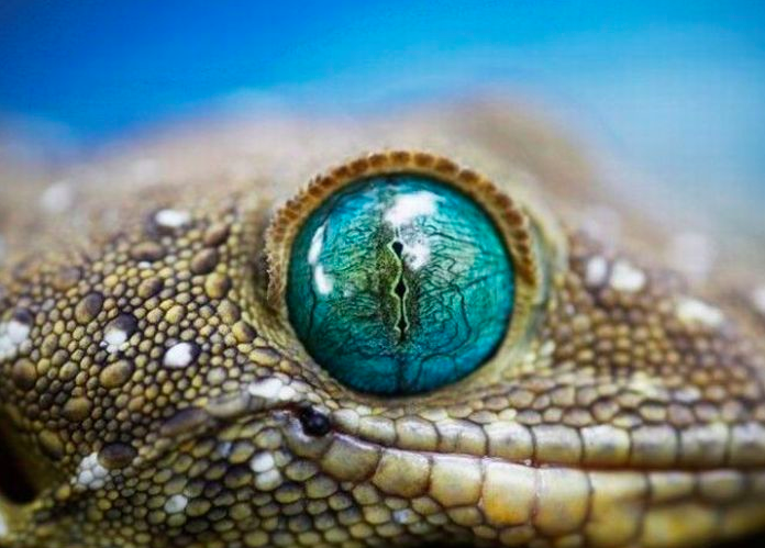 Eye of a reptile