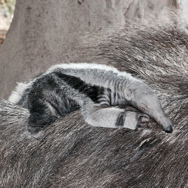 Baby boy Giant Anteater - Credit to Jenny Doh, MSW ‏@jennydoh